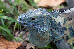 Blue Iguana.jpg