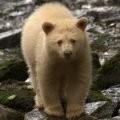 spirit_bear.jpg