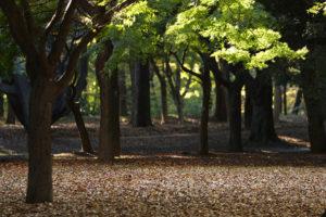 Trees in YoYoGi Park, Tokyo.