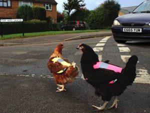 chickcoat.jpg