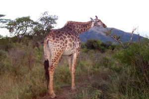 South Africa Giraffe.jpg