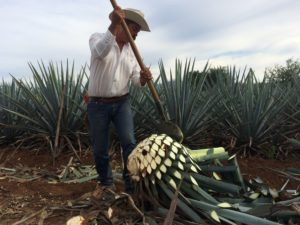 Famer cutting blue agave plant for Cuervo tequilla distillery. Photo: Tonya Fitzpatrick