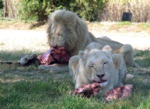 White Lions.jpg