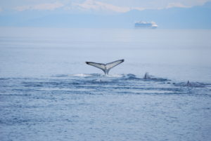 Three whales and large cruise ship in background on Alaska's Glacier Bay.