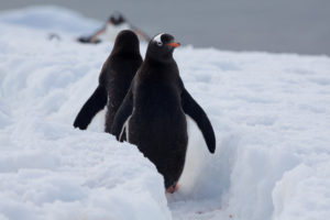 Penguins.FalklandIslands.pinguino k.jpg