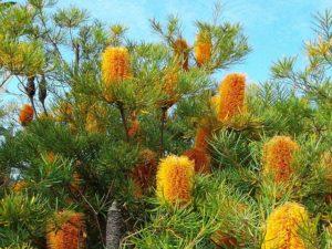 Banksia plant in Australia