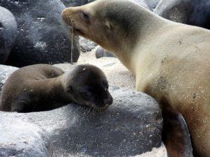 Galapagps sea pup