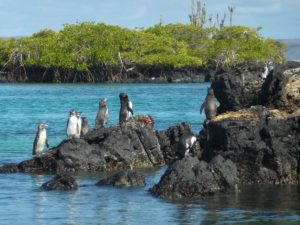 Penguins on the Galapagos