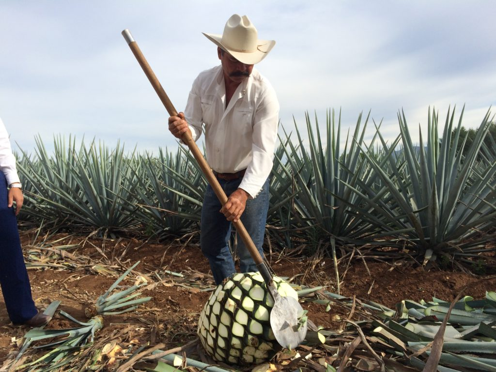 Harvesting the agave cactus for tequila. Photo: Tonya Fitzpatrick