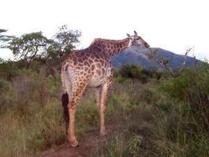 South-Africa-Giraffe