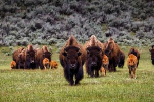 A heard of bison in Yellowstone National Park