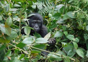 gorilla-Uganda-Bwindi