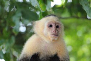 Costa Rica capuchin-monkey-