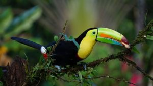 keel-billed-toucan-