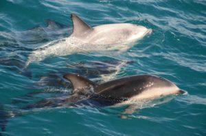 Photo of dusky dolphins seen in Kaikoura, NZ. Photo by Brent Cahill