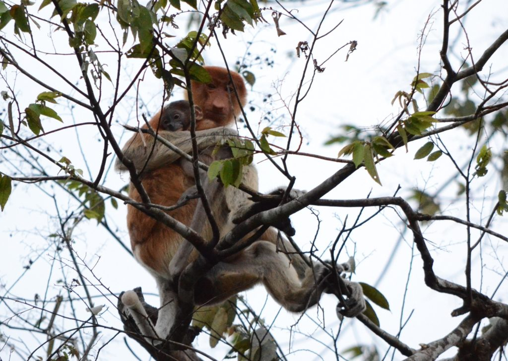 Photo of Proboscis Monkey taken by Brent Cahill