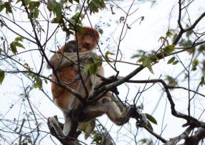 Photo of Proboscis Monkey taken by Brent Cahill
