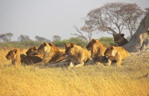 Pride of lions in Africa