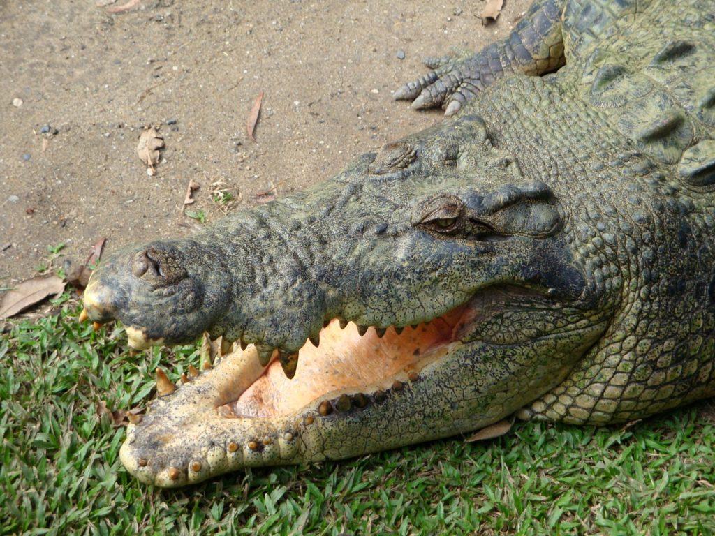 Large saltwater crocodile in Australia