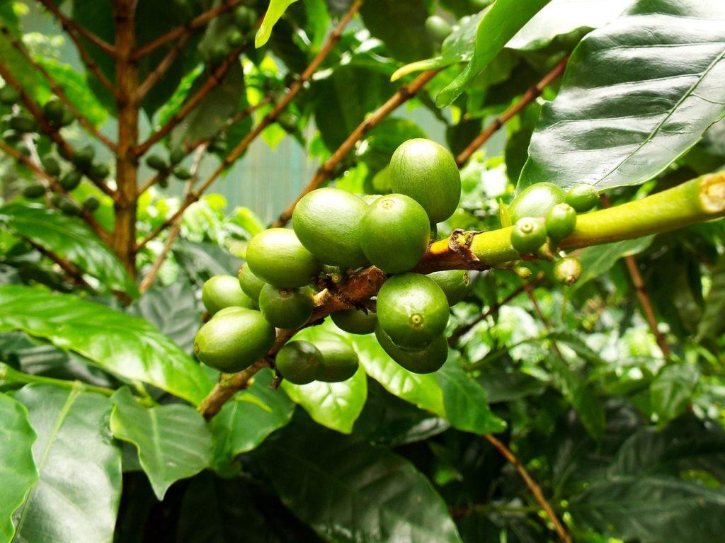 coffee-bean plant