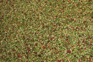 Green and red coffee cherries from Costa Rica