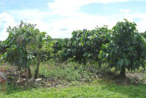 coffee-costa rica plantation