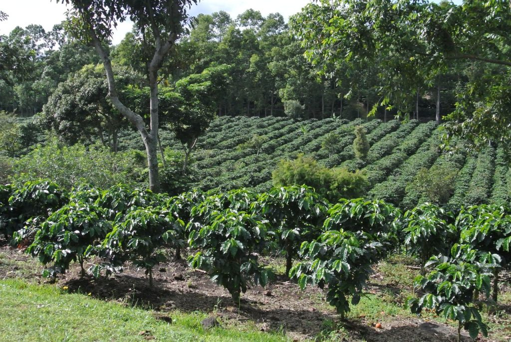 Coffee plantation in Costa Rica
