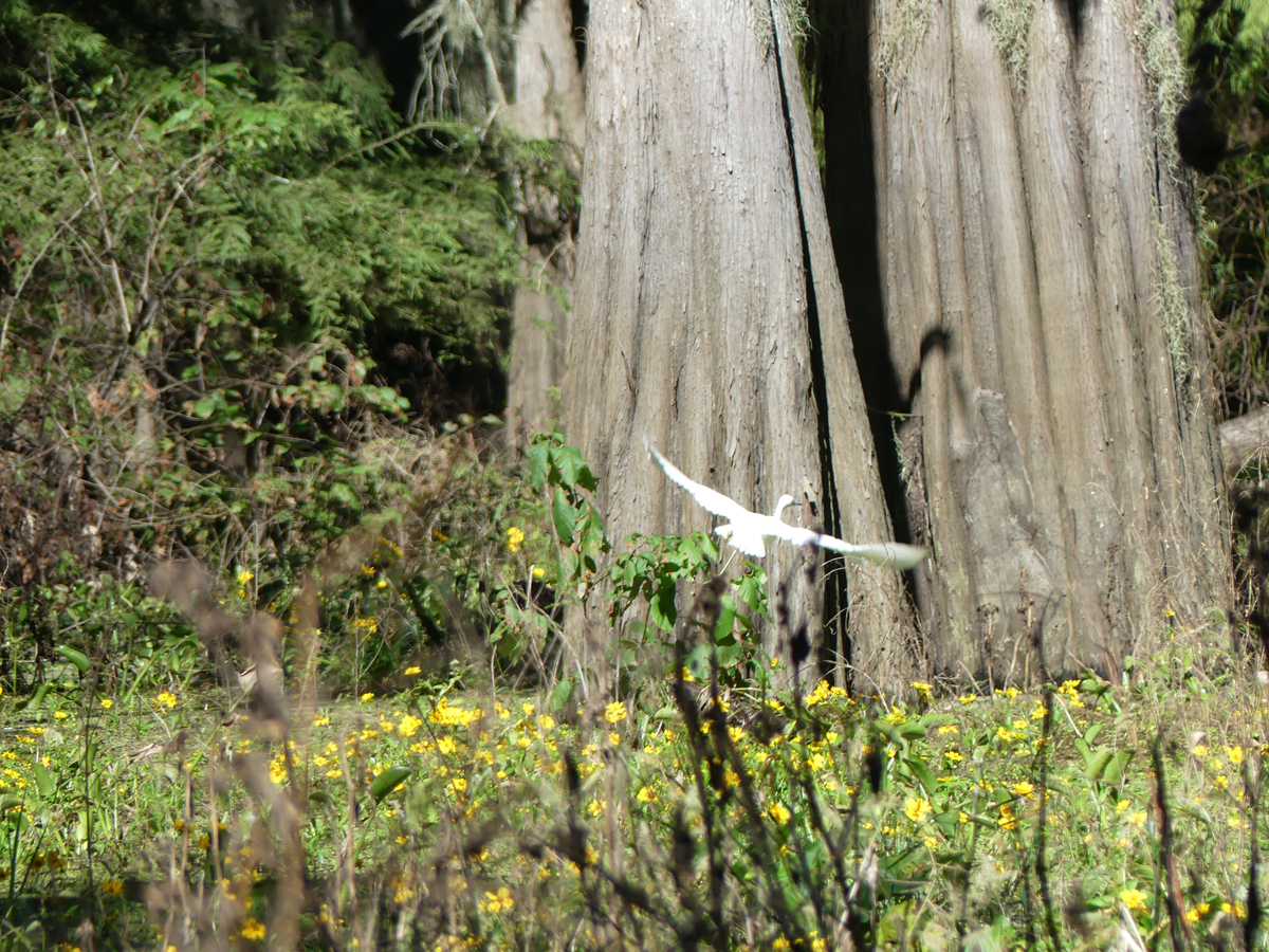 One of many cypress spotted from the airboat. Photo: Kathleen Walls