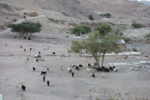 Herd of goats. Photo: Christina Newberry