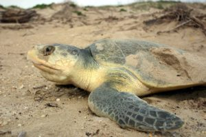 Kemps Ridley Sea Turtle are one of the smallest and most endangered sea turtles