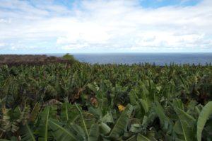 Banana plantation. Photo: Diana Condrea
