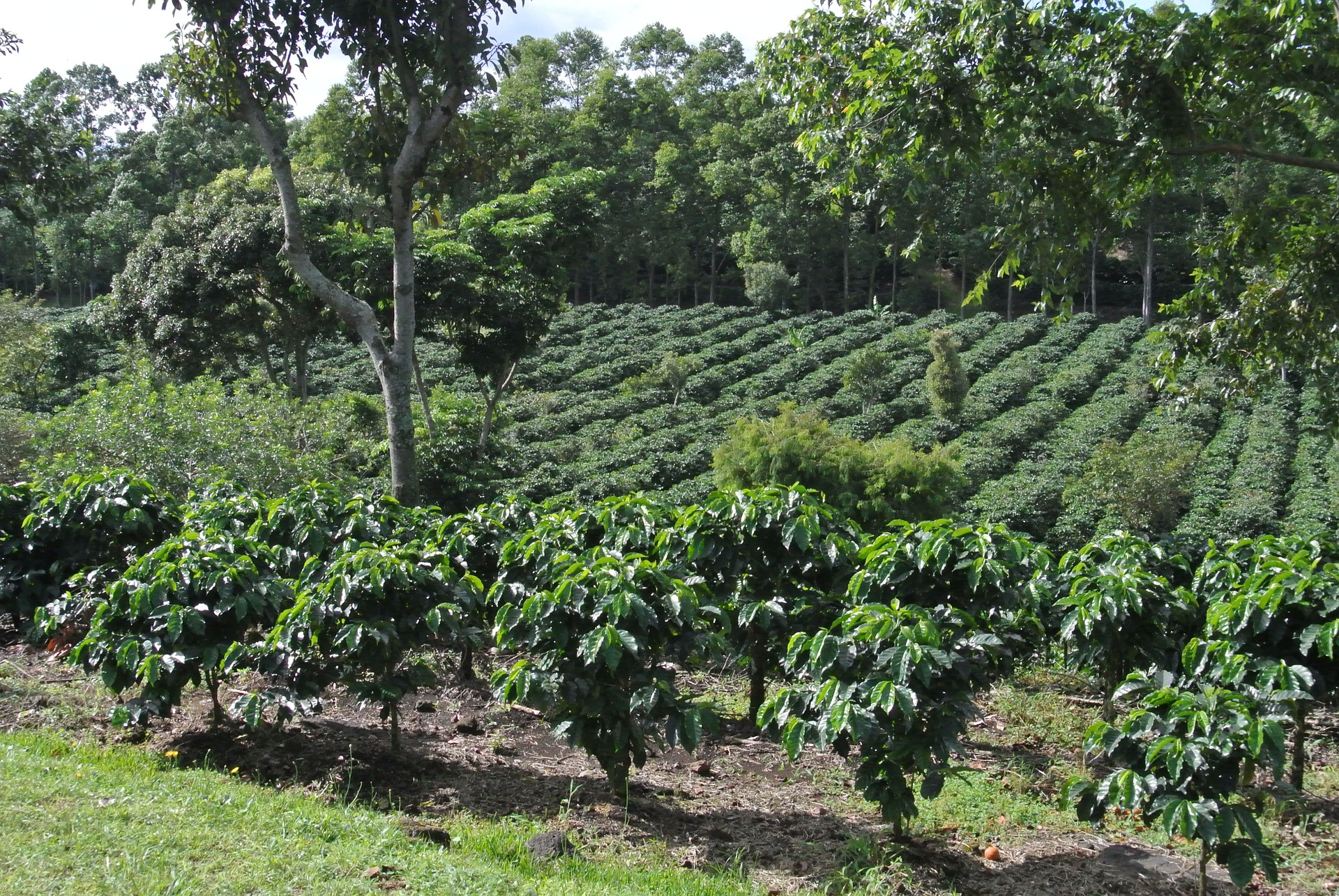 Coffee plantation.