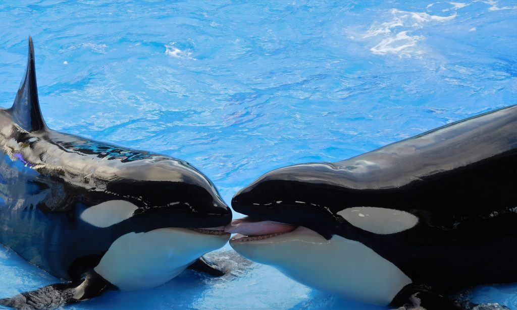 Orca whales in captivity for entertainment purposes is an example of animal tourism.