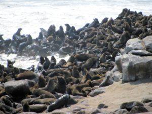Seals along the Skeleton Coast of Namibia