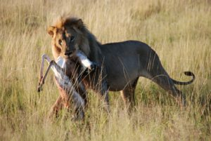 Lion after a kill in Etosha National Park, Namibia.