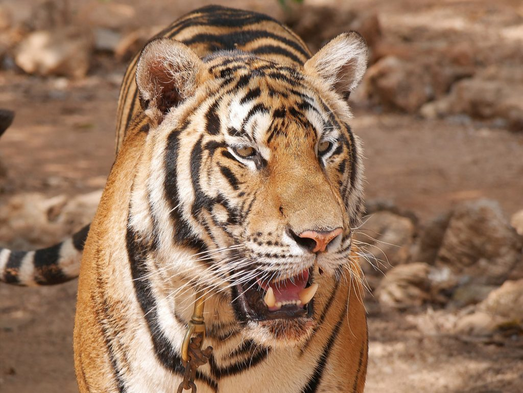 A Tiger in Thailand captured during a tiger tourism tour.
