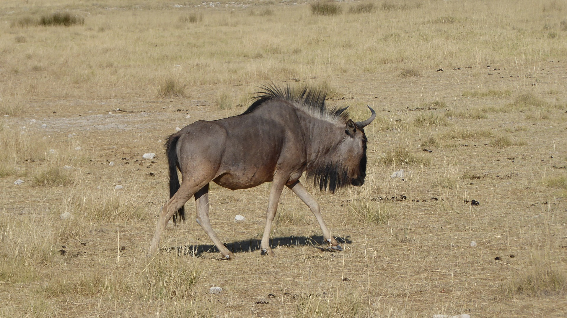 A Gnu is a large dark antelope with a long head. Note the beard, mane and sloping back.