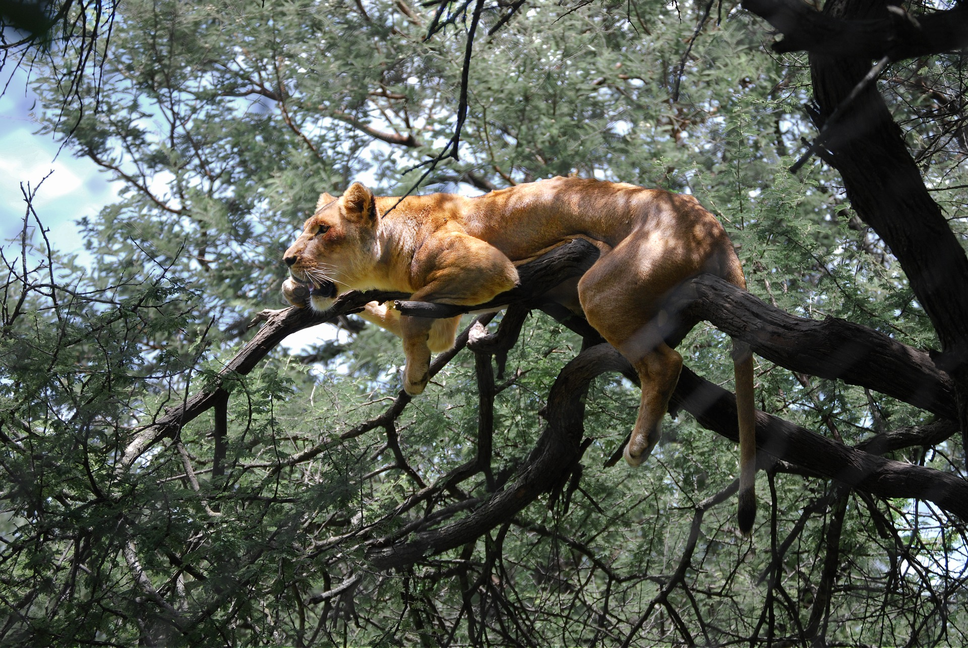 Lion in a tree in Zimbabwe