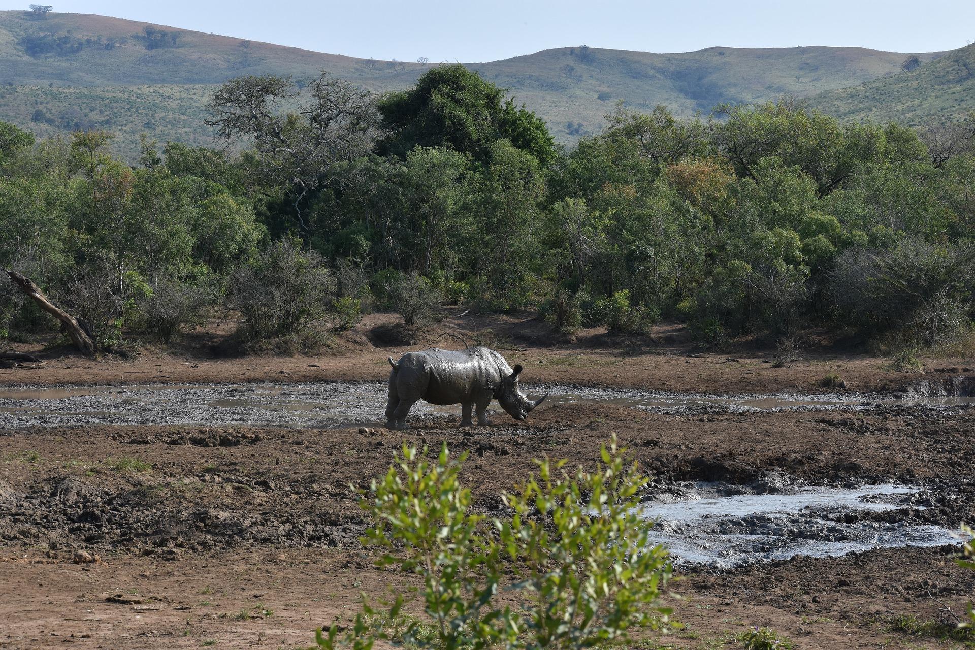 Zimbabwe - Black Rhino along a bank