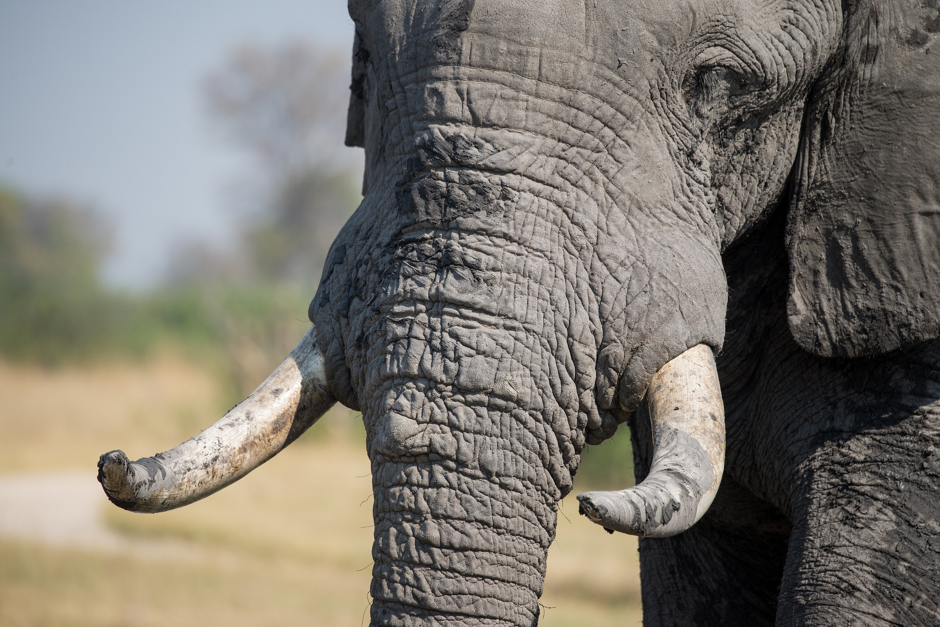 View of the elephant's tusk