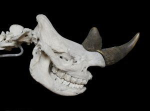 The skull of a Rhino