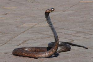 Snake charmer in Medina