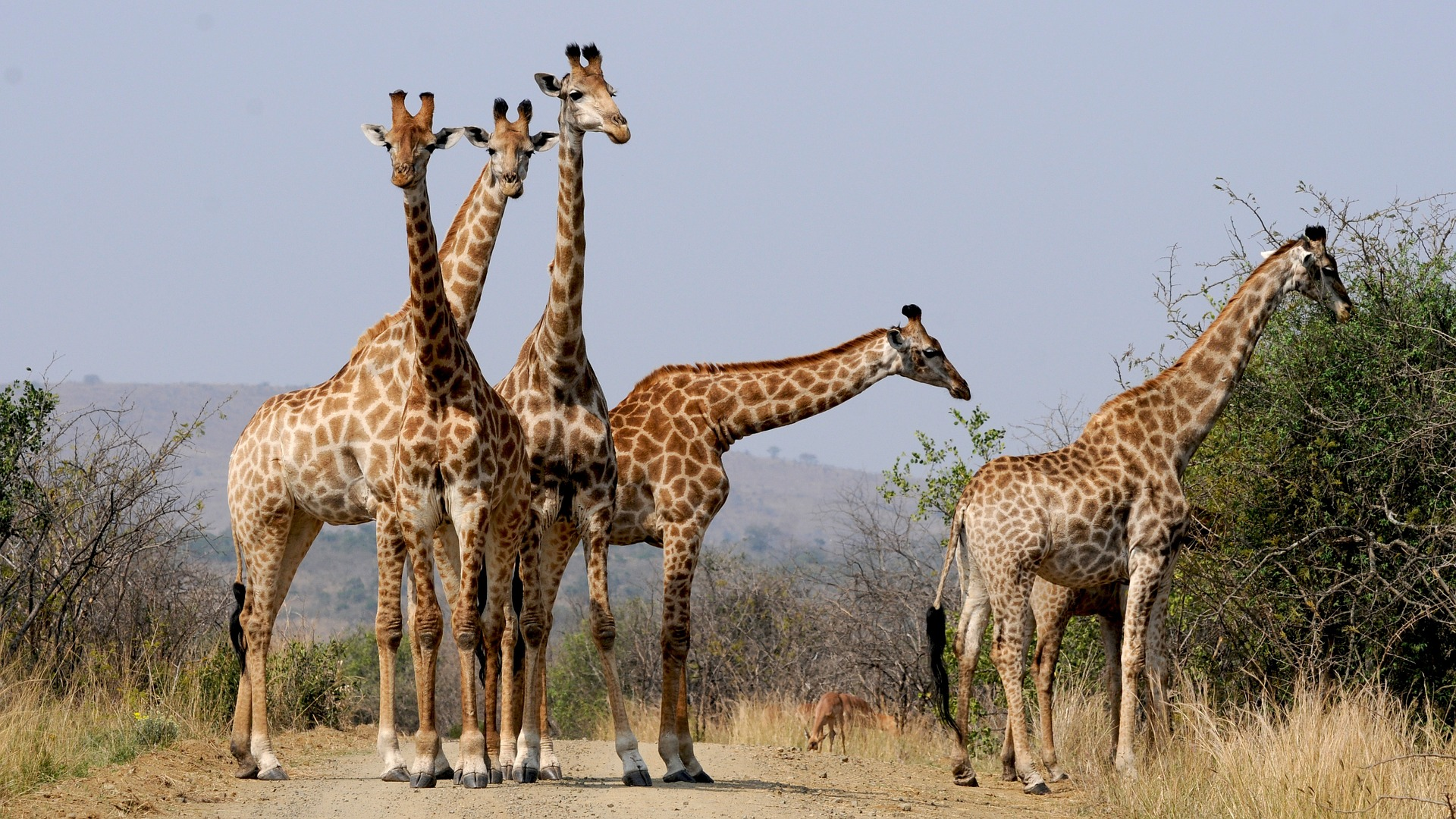 South Africa giraffes spotted on safari.