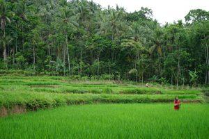 Rice fields in Licin