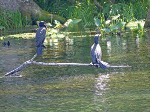 Wading birds at Silver Springs. Photo: Kathleen Walls