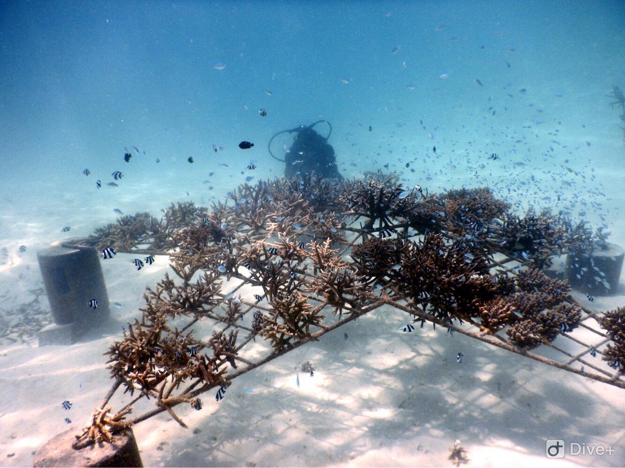 Coral rehabilitation