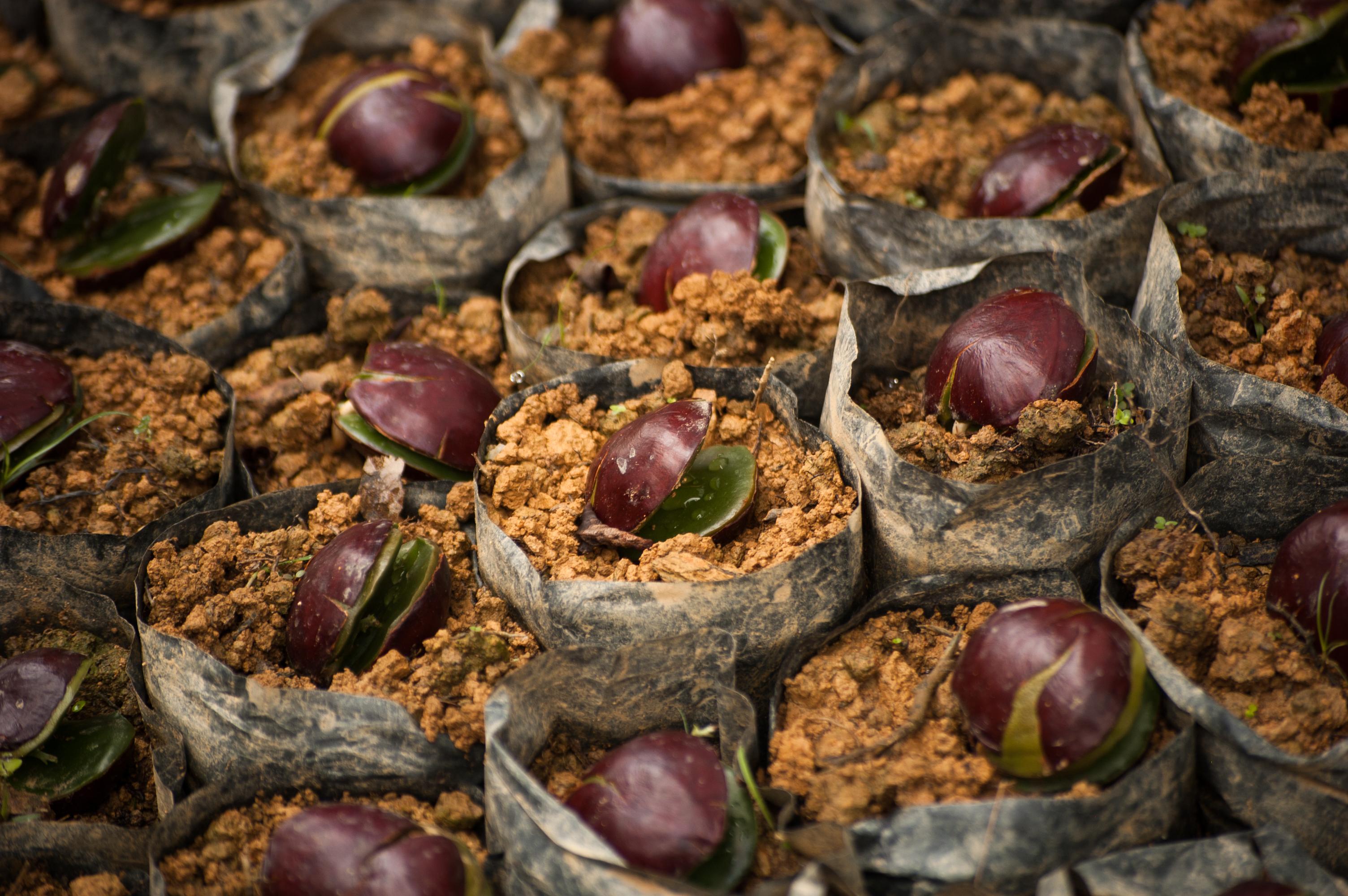 Growing seedlings at the Cinta Raja Restoration Site.  Photo:  Jessica Barrett