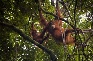 Mother and baby orangutans in Gunung Leuser National Park. Photo: Jessica Barrett