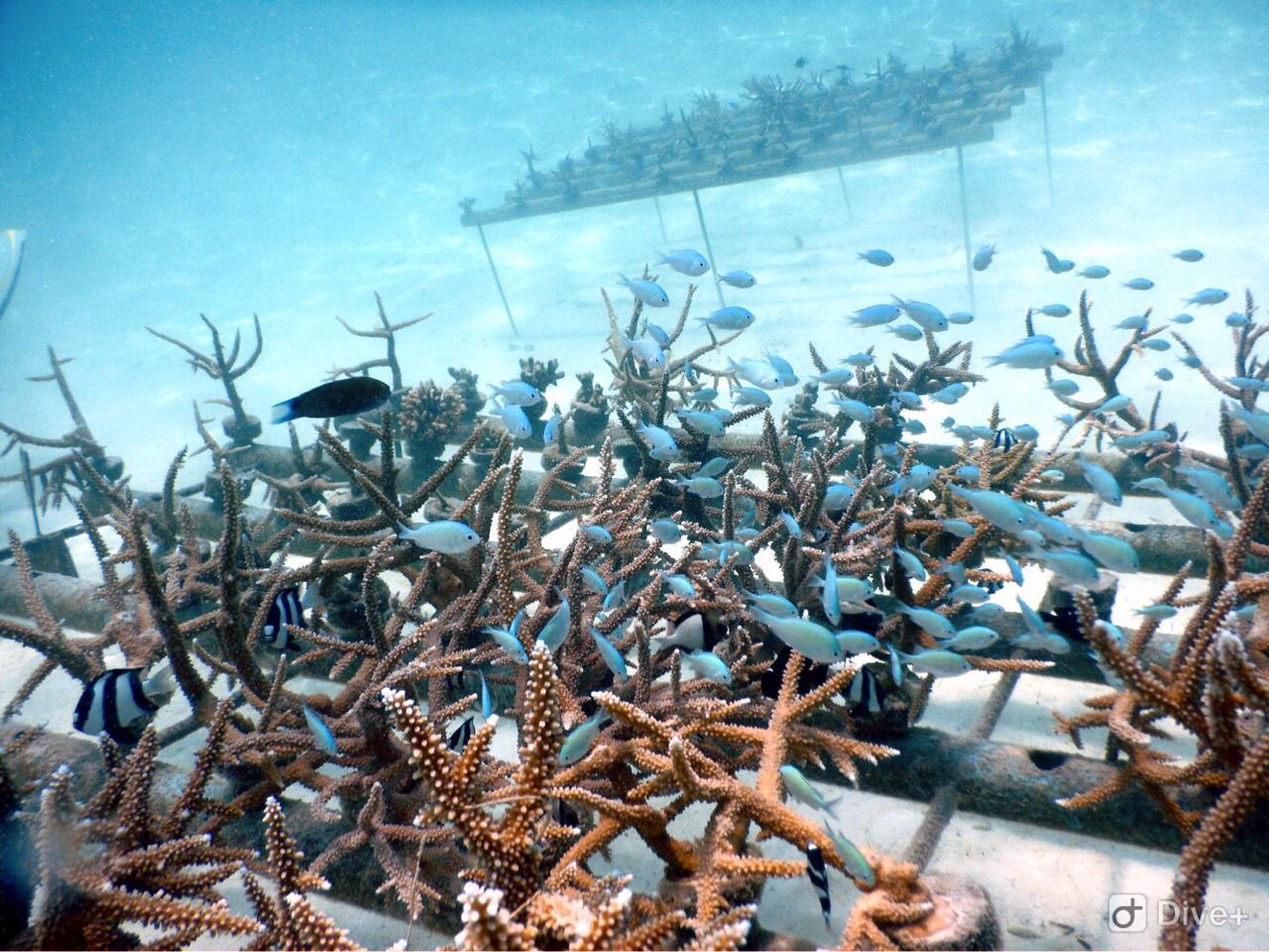 Multiple coral reefs in rehab
