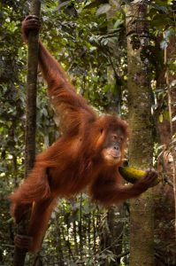 Unfortunately, the orangutans in Gunung Leuser are accustomed to being fed by tip-seeking guides. Photo: Jessica Barrett